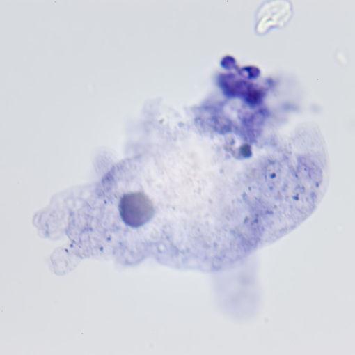 Bild på Zoologi - Protoza - encelliga djur