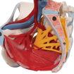 Bild på Bäcken m ligament, nerver, bäckenbotten 1000288