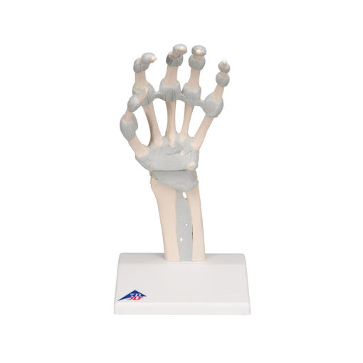 Bild på Handskelett med elastiska ligament M36 1013683