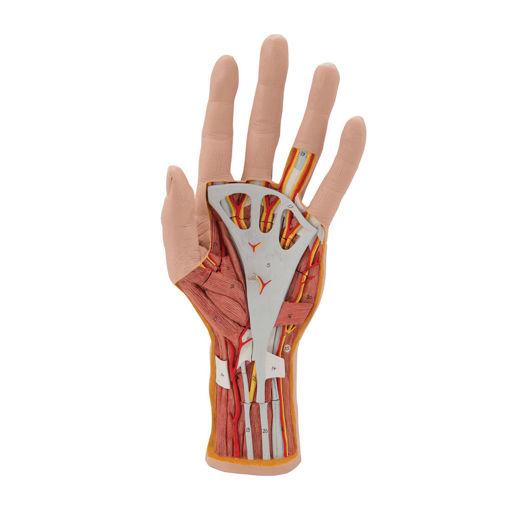 Bild på Handstrukturmodell M18 1000349