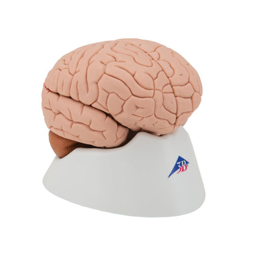 Bild på Hjärna C16 1000224