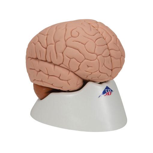 Bild på Hjärna C15 1000222