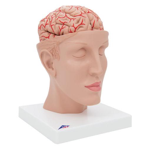 Bild på Hjärna & huvud C25 1017869