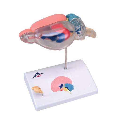 Bild på Hjärna råtta C29 1000230
