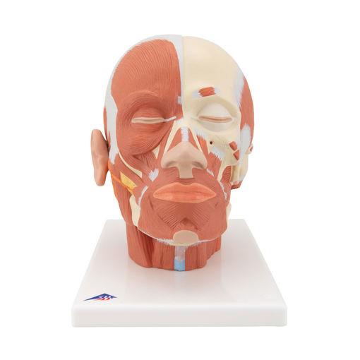 Bild på Huvud muskel VB127 1001239