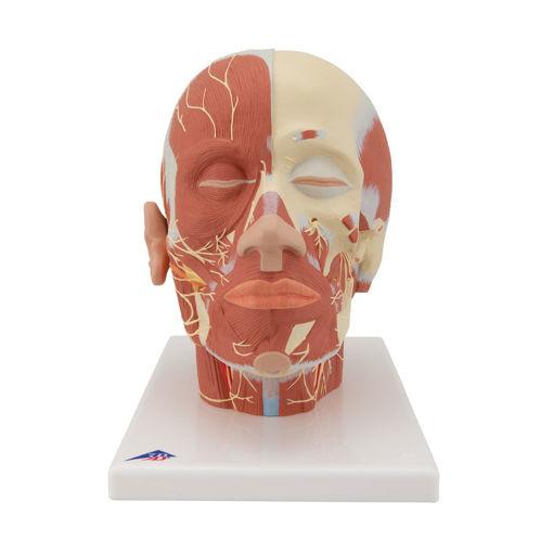 Bild på Huvud muskel & nerver VB129 1008543