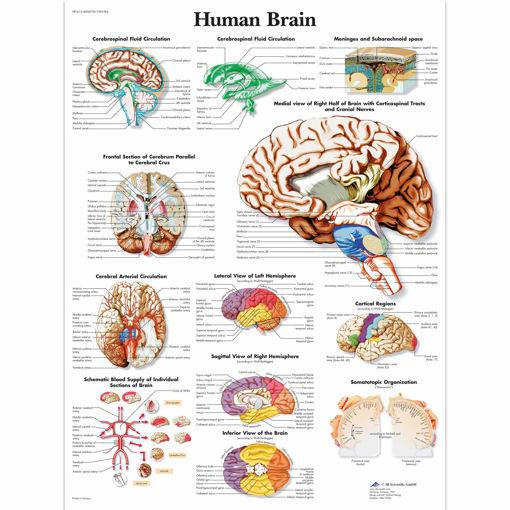 Bild på Hjärnan VR1615 1001584