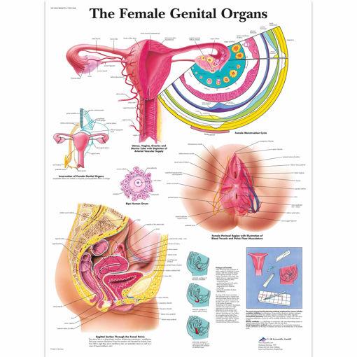 Bild på Kvinnans fortplantningsorgan VR1532 1001568