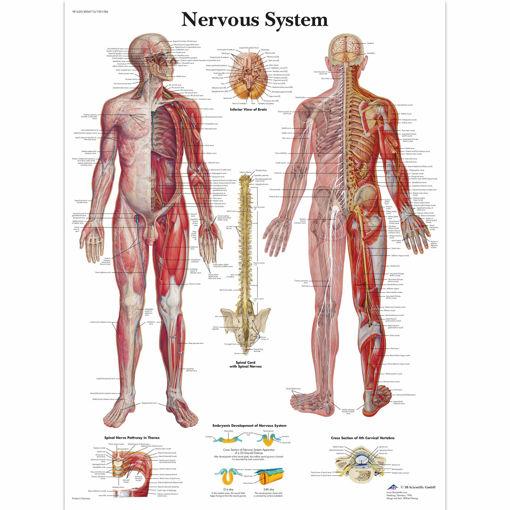 Bild på Nervsystemet VR1620 1001586