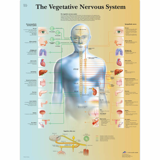 Bild på Vegetativa nervsystemet VR1610 1001582