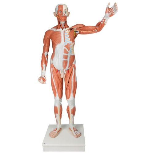 Bild på Muskelkropp deluxe VA01 1001235