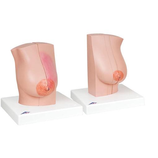 Bild på Bröstmodeller L56 1008497