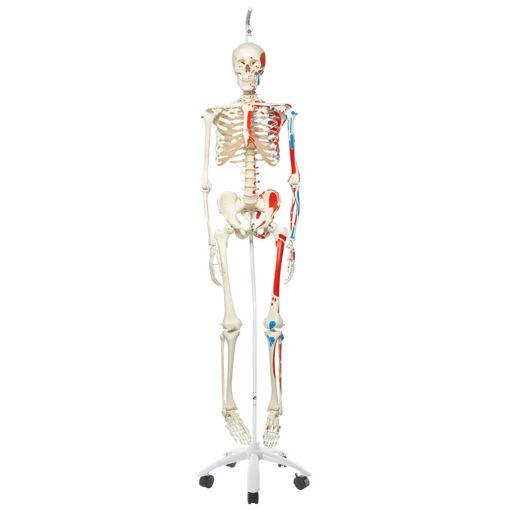 Bild på Muskelskelett hängande Max A11/1 1020174