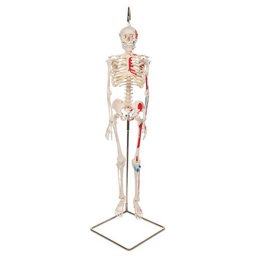 Bild på Miniskelett muskel hängande Shorty A18/6 1000045
