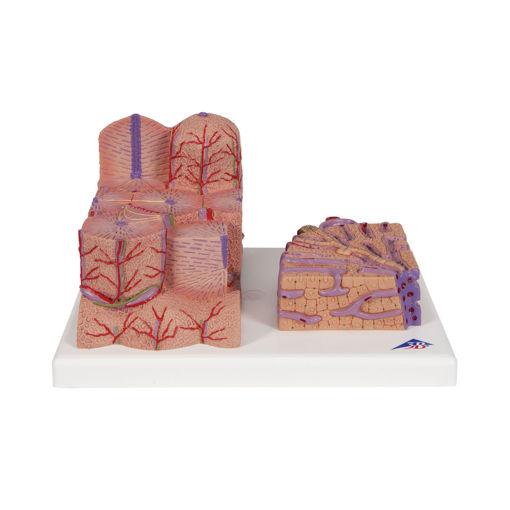 Bild på Lever strukturmodell K24 1000312