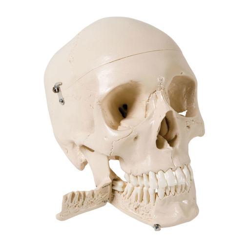 Bild på Kranium löstagbara tänder W10532 1003625