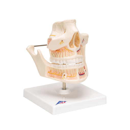 Bild på Tänder vuxen VE281 1001247
