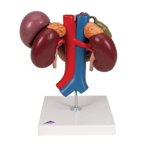 Bild på Njurar inre organ K22/3 1000310