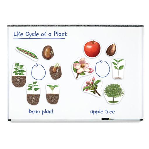 Bild på Magnetiska Växtens livscykel